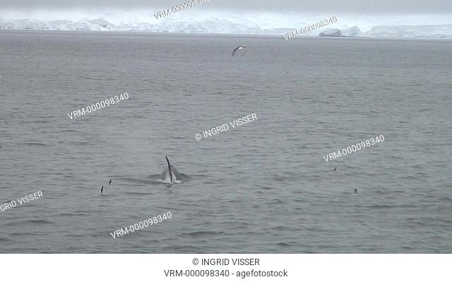 pod of orcas killer whales surfacing with snowy mountains in background, Antarctica