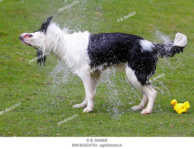 Australian Shepherd (Canis lupus f. familiaris), male dog comming out a pond and shaking water from the fur, side view, Germany