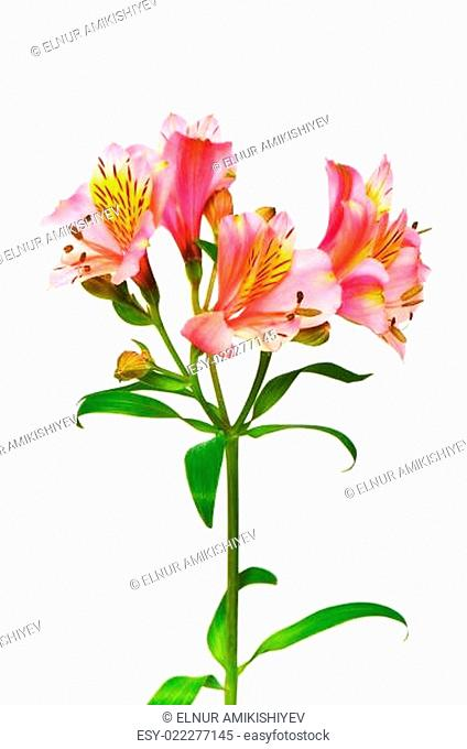 Colourful lilies isolated on the white background