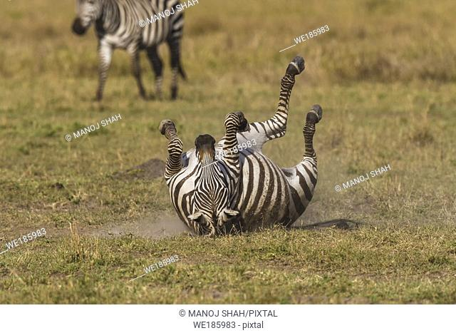 Zebra dusting its back on the ground, Masai Mara National Reserve, Kenya