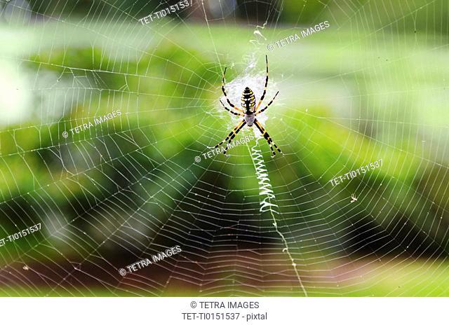 Close up of Argiope Spider on spider web