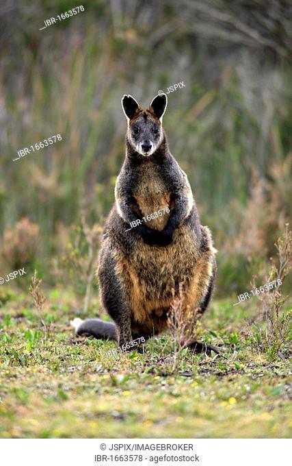 Swamp Wallaby (Wallabia bicolor), adult female, Wilson Promontory National Park, Australia
