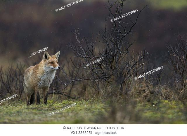 Red Fox / Rotfuchs ( Vulpes vulpes ) adult, hunting, standing in dunes, open habitat with bushes and scrub, bad weather, rainy day, wildlife, Europe