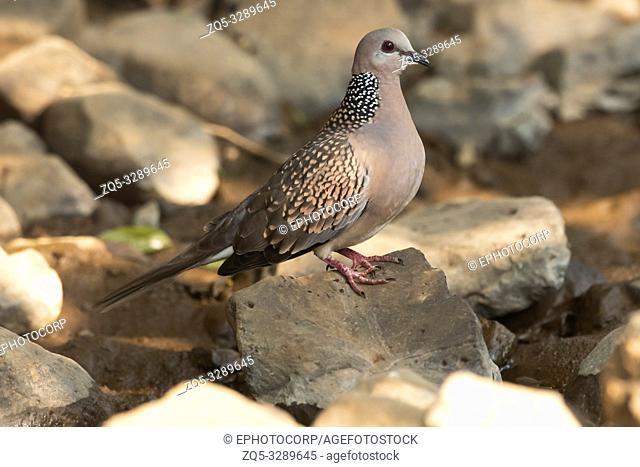 Spotted dove, Spilopelia chinensis, Pune, Maharashtra, India