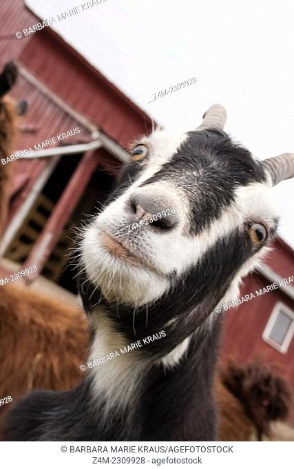 A black and white goat smiles for the camera. It is on a farm in central USA with a traditional red barn in the background