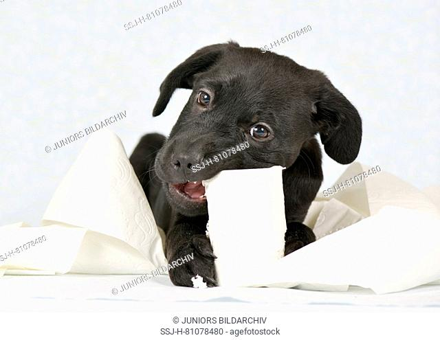 Mixed-breed dog. Puppy (3 month old male) chewing on a roll toilet paper. Studio picture against a white background. Germany