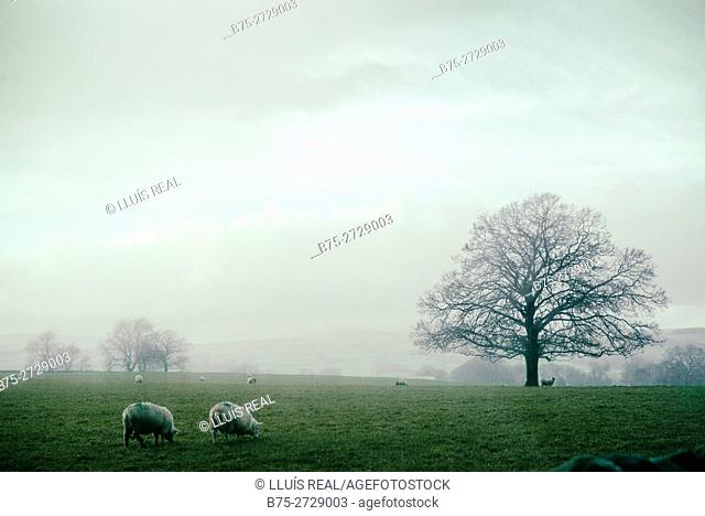 Landscape with clouds, trees and two lambs. North Yorkshire, Yorkshire Dales, England, UK, Europe