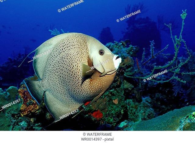 Gray Angelfish, Pamacanthus arcuatus, Caribbean Sea, Bahamas