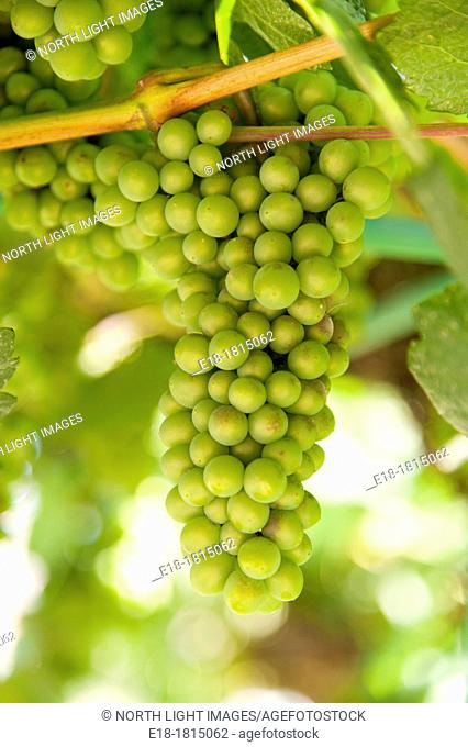 Canada, BC, Oliver  Ripening green grapes on the vine in the Okanagan Valley