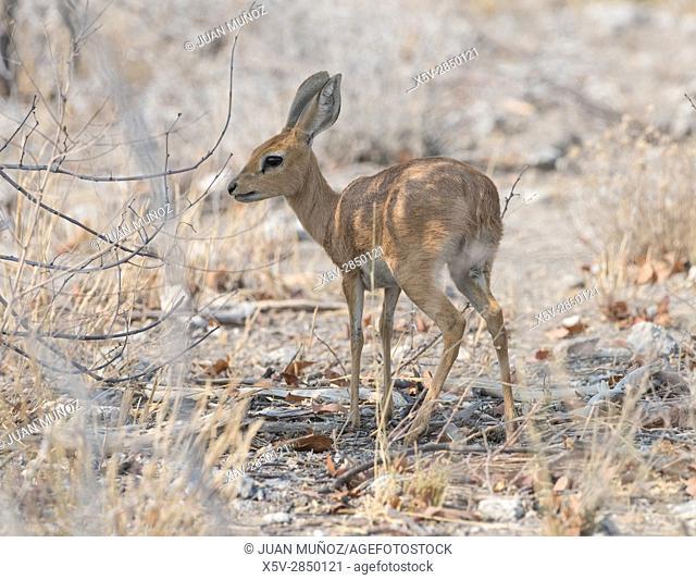 STEENBOK (Raphicerus campestris). Etosha National Park. Namibia.Africa