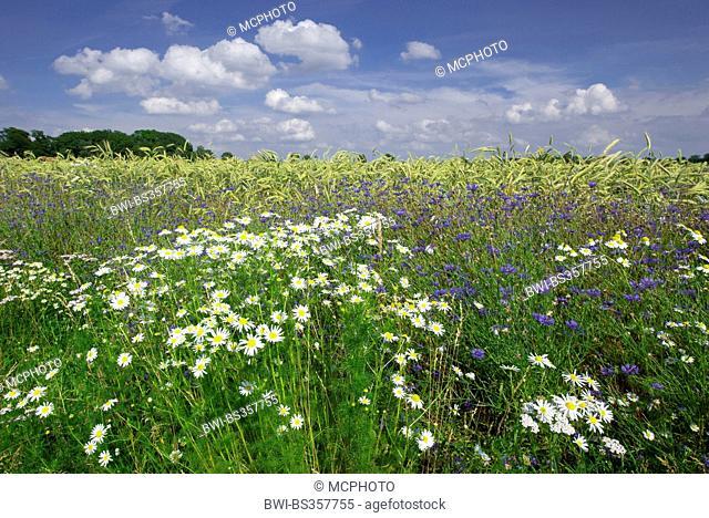 Scentless mayweed, Scentless chamomile (Tripleurospermum perforatum, Tripleurospermum inodorum, Matricaria inodora), field boundary with Scentless mayweed and...