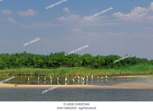 Cattle Egret, Bubulcus ibis, Blacksmith Plover, Vanellus armatus, Ntwala Island Lodge, Zambezi River, Kasane, Caprivi, Namibia, Africa, Travel, Nature