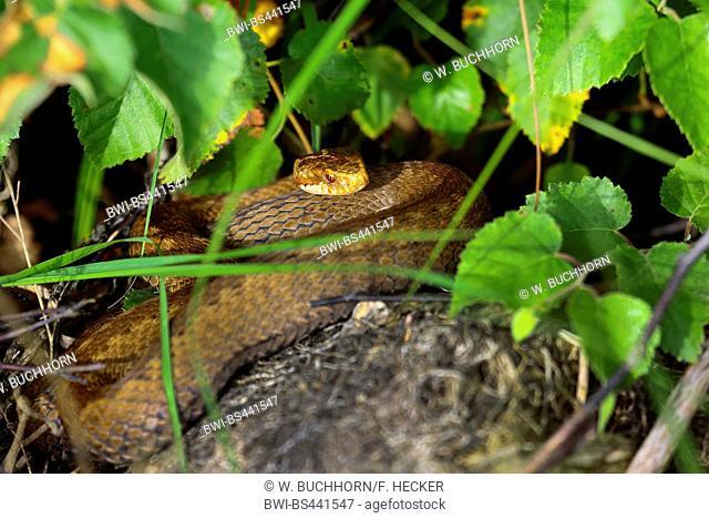 Adder, common viper, common European viper, common viper (Vipera berus), lying under a bush, Germany