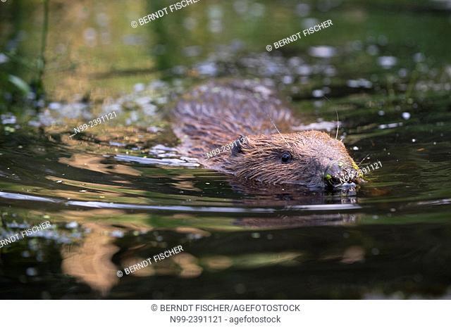 Beaver (Castor fiber), swimming, Bavaria, Germany