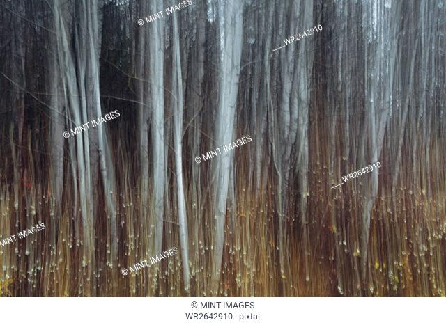 An aspen forest in autumn. Thin white tree trunks of the quaking aspen in low light with autumnal understory