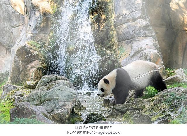Giant panda (Ailuropoda melanoleuca) standing in front of waterfall in the mist, ZooParc de Beauval, France