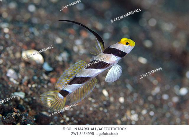 Black-rayed Shrimpgoby (Stonogobiops nematodes, Gobioidei Family) with erect dorsal and anal fins, Melasti dive site, Seraya, Kubu district, Karangasem, Bali
