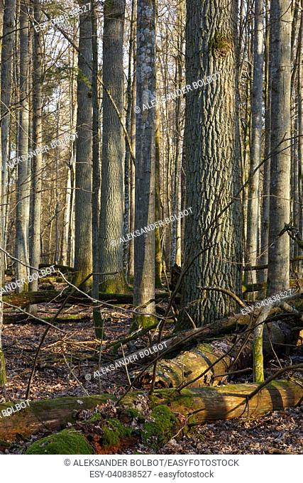 Huge oak trees and broken one partly declined in foreground in springtime forest, Bialowieza Forest,Poland,Europe