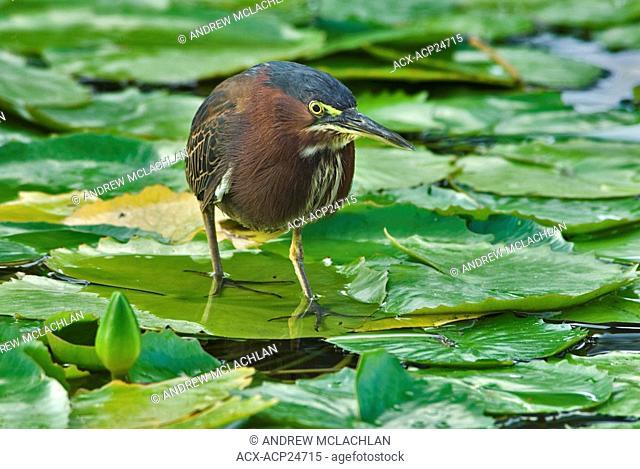 Green-backed Heron Butorides striatus in wetland on Cayo Guillermo, Cuba