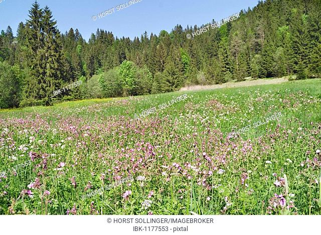 Mountain meadow with Red campion (Silene dioica) and other spring flowers, in the back a mixed forest, Leitzachtal valley, Bavaria, Germany, Europe
