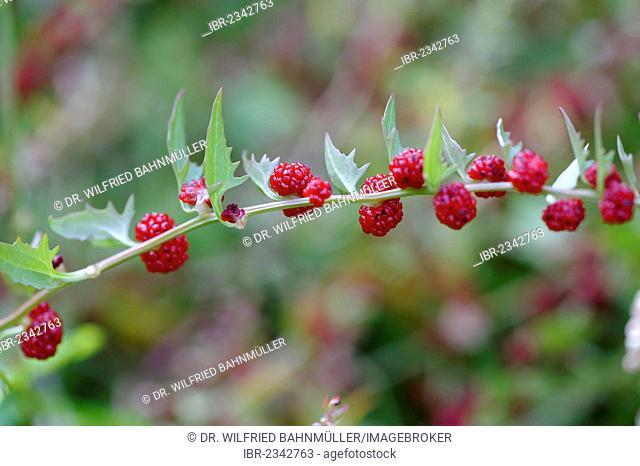 Leafy goosefoot (Chenopodium foliosum), spinach