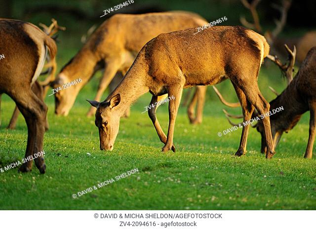 A Group of a red deer (Cervus elaphus) female in a meadow