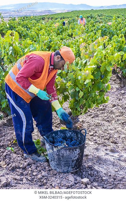 Grape harvest. Bargota, Navarre, Spain, Europe