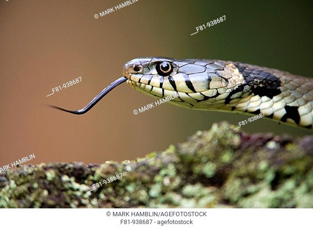 Grass snake Natirx natrix close-up of adult showing tongue  UK  June 2009