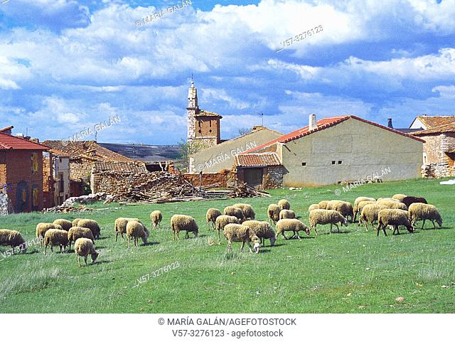 Flock of sheep and village. Sierra de Ayllon, Segovia province, Castilla Leon, Spain