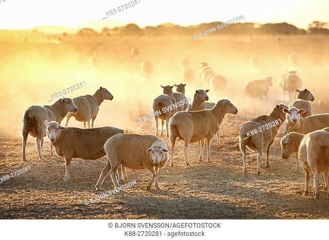 Sheep on a farm in Western Victoria, Australia