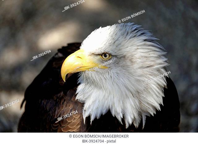 Bald Eagle (Haliaeetus leucocephalus), native to North America, captive, Germany