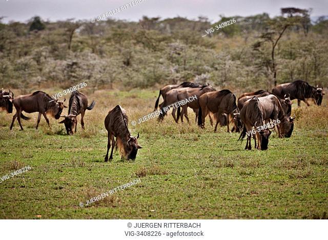 TANZANIA, SERENG, 05.01.2011, Blue Wildebeests, Connochaetes taurinus, Serengeti, Tanzania, Africa - Sereng, Tanzania, 05/01/2011