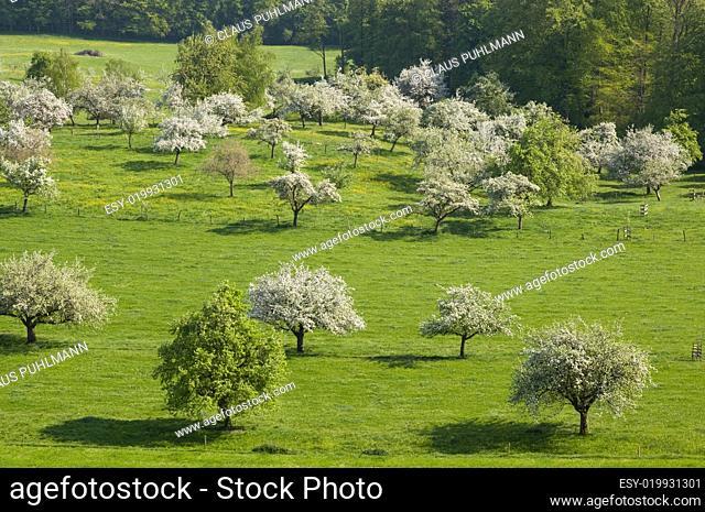 Streuobstwiese mit blühenden Apfelbäumen am Bodensee