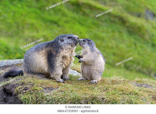 Alpine Marmot, Marmota marmota, adult with young, Hohe Tauern National park, Austria