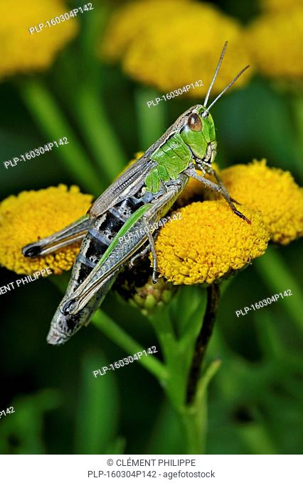 Meadow grasshopper (Chorthippus parallelus) female green colour morph on common tansy flowers (Tanacetum vulgare)