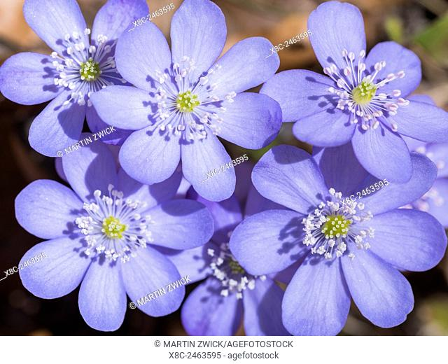 Liverwort, also called Common Hepatica, Kidneywort, Pennywort (Hepatica nobilis or Anemone hepatica) in full bloom in the Eastern Alps of central Europe