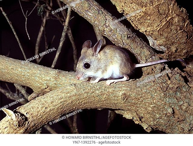 close up of a spinifex hopping mouse Notomys alexis in the Australian bush