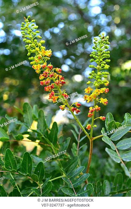 Tara or goma del Peru (Caesalpinia spinosa or Tara spinosa) is a a big shrub or small tree native to northwestern South America. Inflorescences detail
