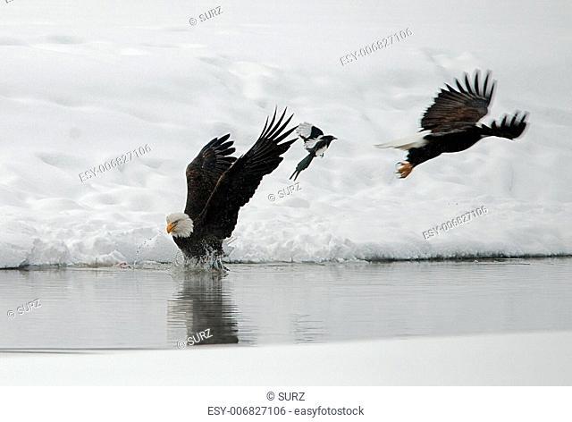 Feeding of Bald eagles (Haliaeetus leucocephalus).Eating fish on snow