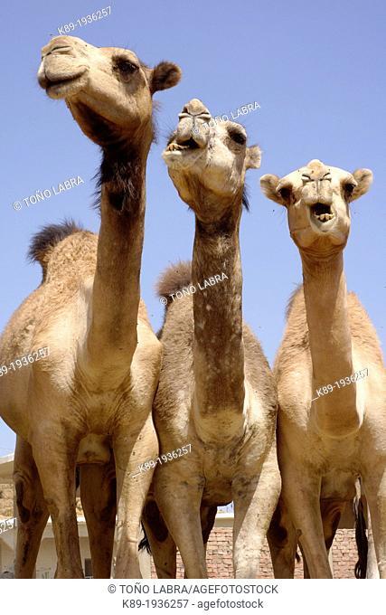 Birqash camel market. Cairo. Egypt