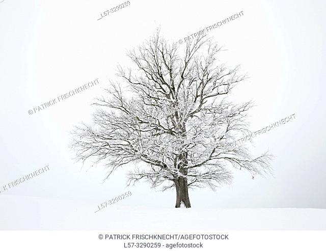 oak tree covered in snow, Switzerland