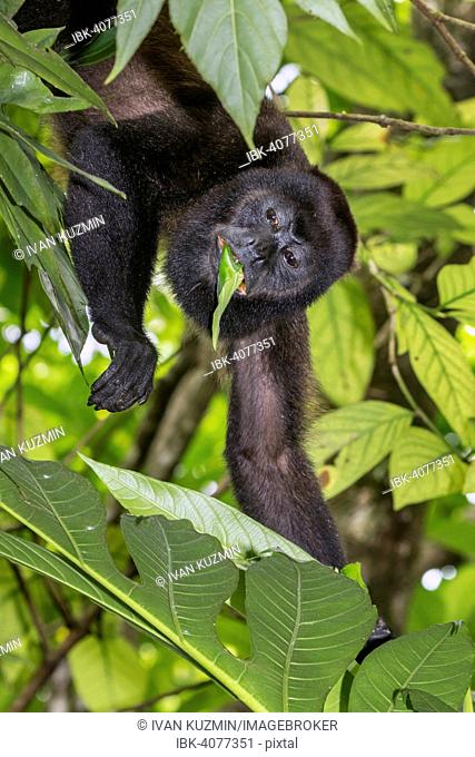 Mantled Howler Monkey (Alouatta palliata), male feeding on tree leaves in rainforest canopy, Cahuita National Park, Limon, Costa Rica