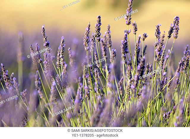 Purple flowers in a lavender field during summer, Valensole, Provence, France