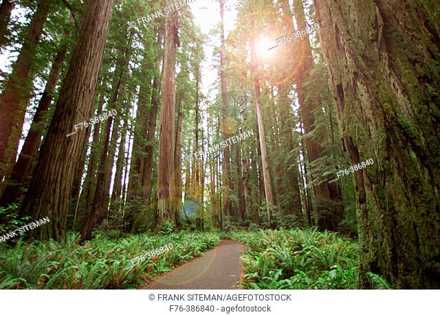 Giant Redwoods in the Jedediah Smith Redwoods State Park, Stout Grove. Northern California, USA