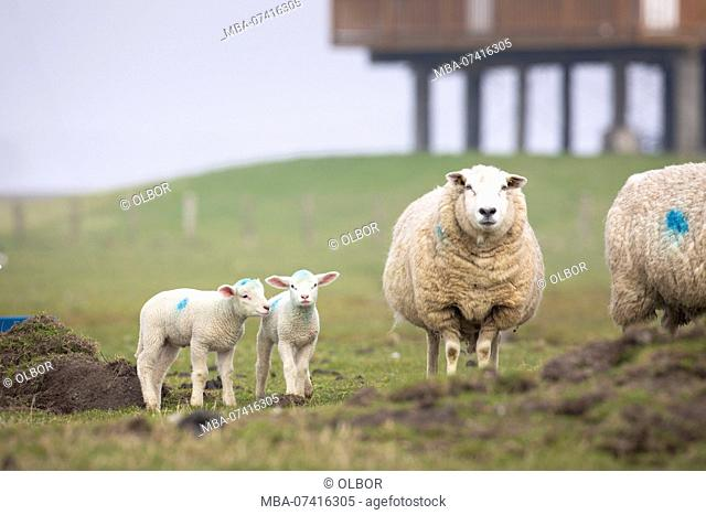 Germany, Schleswig-Holstein, Hallig Hooge, sheep on pasture with lambs