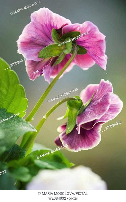 Two Purple Pansies, Back View. Viola x wittrockiana