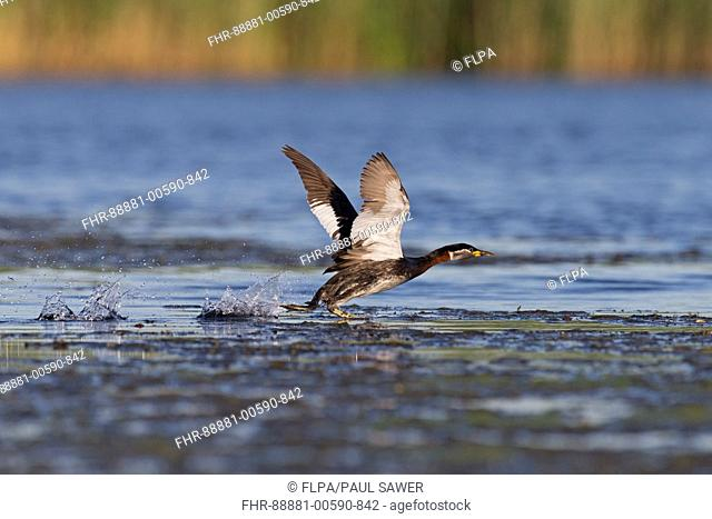 Red-Necked Grebe (Podiceps grisegena) adult, breeding plumage, running across water to take flight, Danube Delta, Romania, June