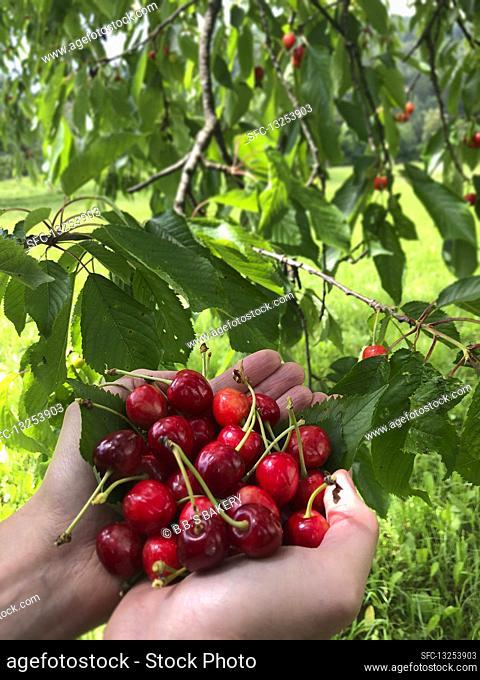 Hands holding fresh cherries under a tree