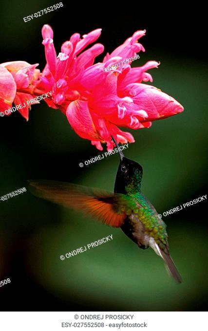 Black-Bellied Hummingbird, Eupherusa nigriventris