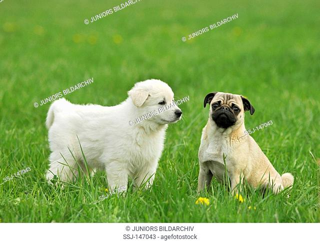 pug and white swiss sheperd puppy - on meadow / restrictions: Tierratgeber-Bücher / animal guidebooks
